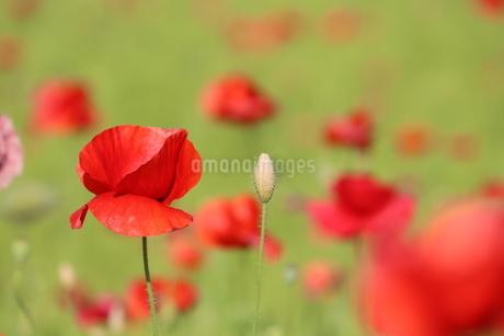 赤いポピーが咲き乱れるの写真素材 [FYI03435629]
