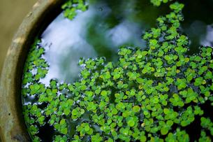 瓶の水草の写真素材 [FYI03435730]