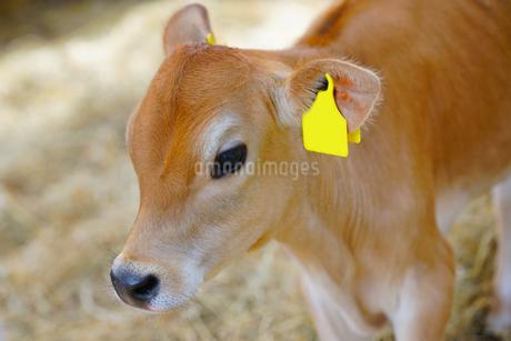 子牛の写真素材 [FYI03435733]