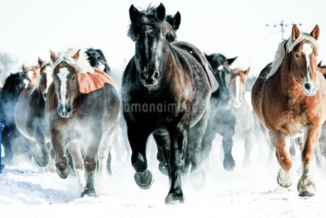 雪原を走る馬の集団の写真素材 [FYI03435740]