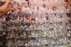 香港・旺角(モンコック/Mong Kok)の通菜街(通称金魚街)で売られる金魚や熱帯魚。ビニールの袋に酸素とともに入れられ吊るして売られるの写真素材 [FYI03435749]