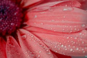菊のクローズアップの写真素材 [FYI03435936]