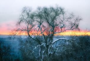 雪の降り積もった大木のシルエットと夕焼けの写真素材 [FYI03436061]
