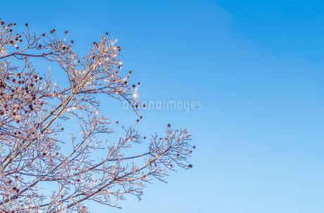 日の光に輝く樹木の雨氷の写真素材 [FYI03436063]