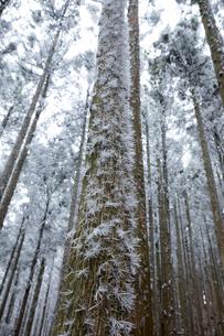 針状樹霜(三峰山)の写真素材 [FYI03436116]