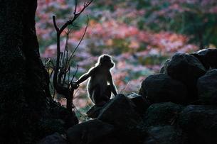 高崎山の写真素材 [FYI03436302]