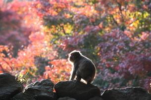 高崎山の写真素材 [FYI03436305]
