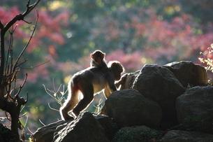 高崎山の写真素材 [FYI03436308]