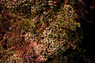 紅葉の葉の写真素材 [FYI03436497]
