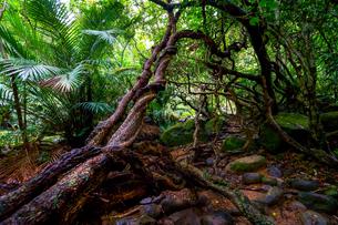 西表島のジャングルの写真素材 [FYI03436529]