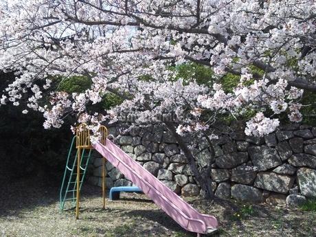 滑り台と桜の写真素材 [FYI03436598]