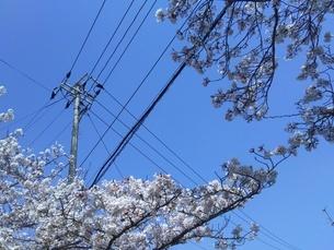 電線と桜の写真素材 [FYI03436603]
