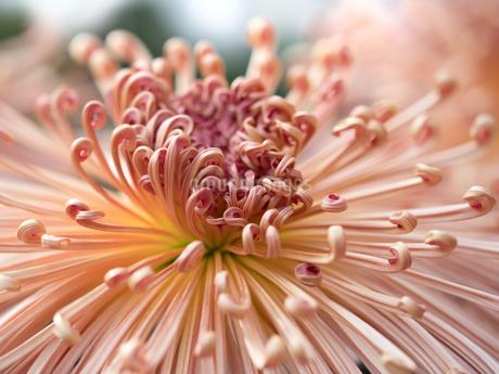 菊の花 管物菊の写真素材 [FYI03436825]