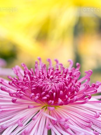 菊の花 管物菊の写真素材 [FYI03436861]