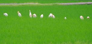 アマサギの整列の写真素材 [FYI03436980]