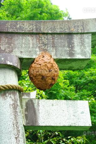 キイロスズメバチの巣の写真素材 [FYI03436985]