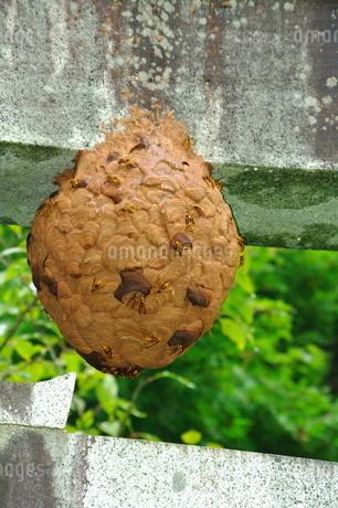 キイロスズメバチの巣の写真素材 [FYI03436986]