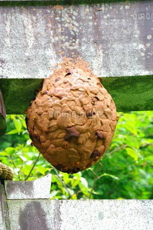 キイロスズメバチの巣の写真素材 [FYI03436987]