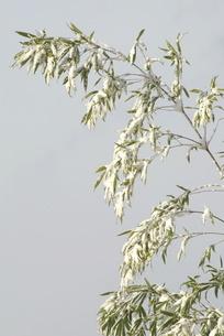 竹に雪の写真素材 [FYI03436990]