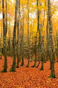 美人林 ブナ林の紅葉の写真素材 [FYI03437346]
