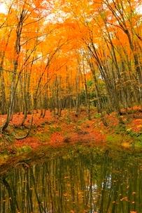 美人林 ブナ林の紅葉の写真素材 [FYI03437350]