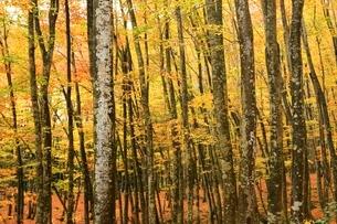美人林 ブナ林の紅葉の写真素材 [FYI03437354]
