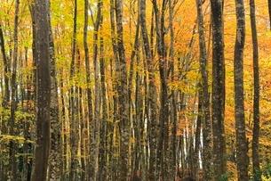 美人林 ブナ林の紅葉の写真素材 [FYI03437356]