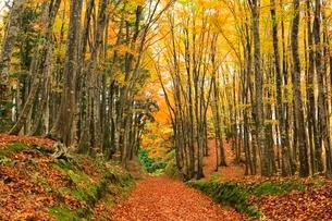 美人林 ブナ林の紅葉と道の写真素材 [FYI03437357]