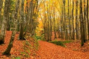 美人林 ブナ林の紅葉と道の写真素材 [FYI03437359]
