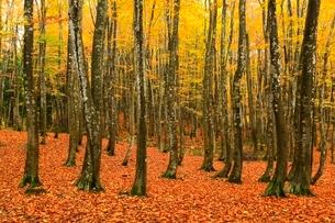 美人林 ブナ林の紅葉の写真素材 [FYI03437360]