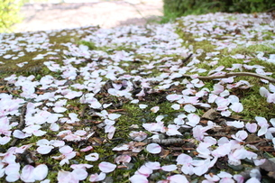 桜の花びらの写真素材 [FYI03437381]