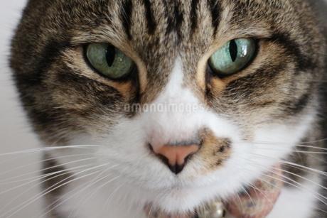 ネコの写真素材 [FYI03437390]
