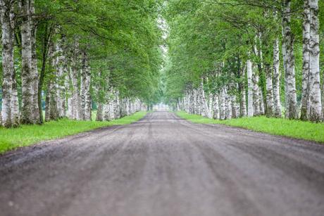 白樺の並木道の写真素材 [FYI03437465]