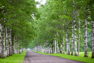 白樺の並木道の写真素材 [FYI03437466]