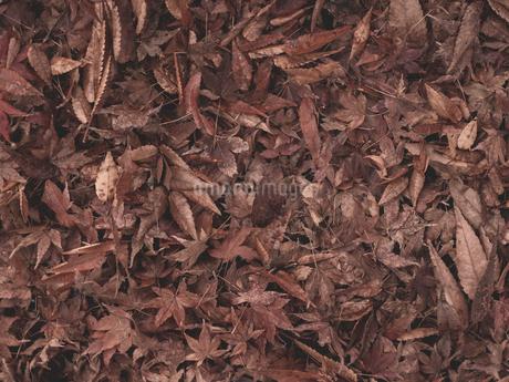 木の根元に落ちた秋の落ち葉の自然風景の写真素材 [FYI03437575]