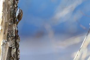キバシリの写真素材 [FYI03437651]