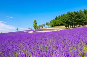 ラベンダー咲く彩香の里の写真素材 [FYI03438181]