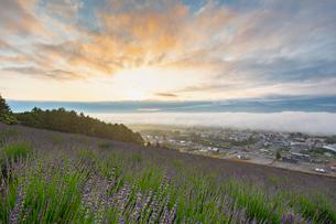 中富良野町営ラベンダー園の夜明けの写真素材 [FYI03438183]