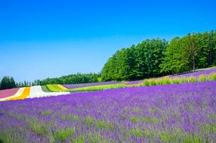 花々咲くファーム富田の写真素材 [FYI03438219]