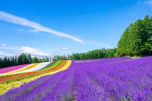 花々咲くファーム富田の写真素材 [FYI03438226]