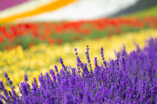 ファーム富田の花畑の写真素材 [FYI03438252]
