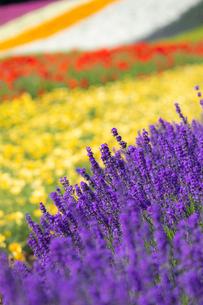 ファーム富田の花畑の写真素材 [FYI03438254]
