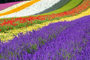 ファーム富田の花畑の写真素材 [FYI03438255]