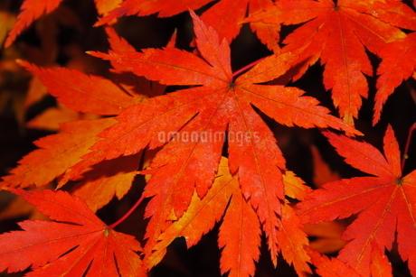震生湖の紅葉の写真素材 [FYI03438331]
