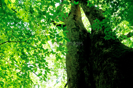 新緑の大木の写真素材 [FYI03438434]
