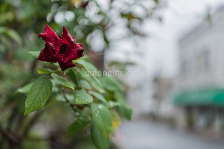 一輪の紅いバラと通りの写真素材 [FYI03438451]