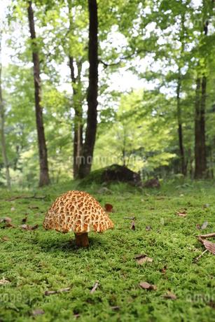 森のキノコの写真素材 [FYI03438545]