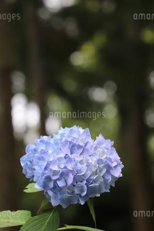 紫陽花の写真素材 [FYI03438594]