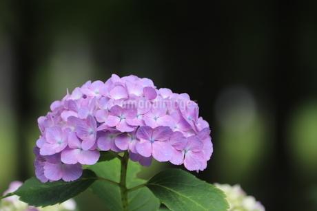 紫陽花の写真素材 [FYI03438597]