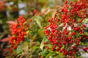 京都の日本庭園 赤い南天の実の写真素材 [FYI03438619]